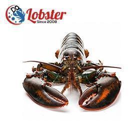 迪欧 加拿大 野生 螯龙虾