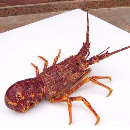 海市鲜捞 南澳野生岩龙虾